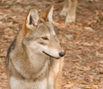 Red Wolf - Captive