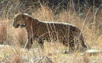 First US Jaguar Collared in AZ